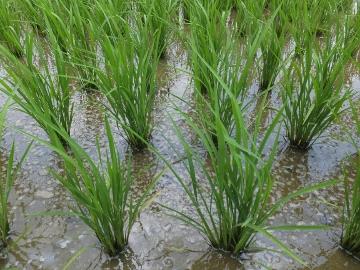 有機米草なし