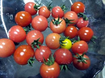 鈴生りミニトマト7