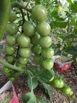 鈴生りミニトマト