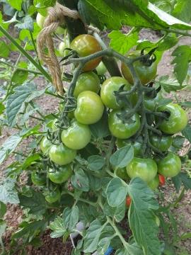 鈴生りミニトマト4