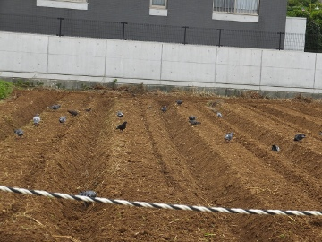 芋畑準備と苗植え3