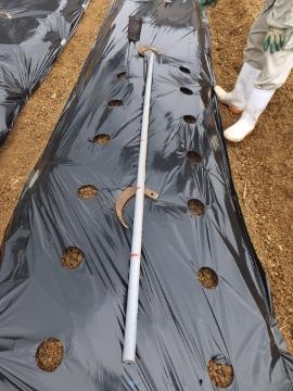 芋畑準備と苗植え4