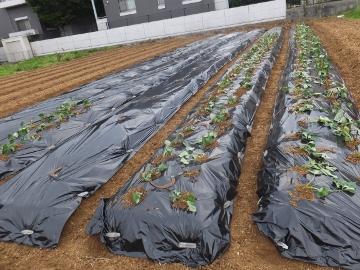 芋畑準備と苗植え8