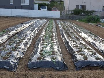 芋畑苗植え第2弾5