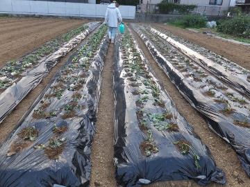 芋畑苗植え第3弾2