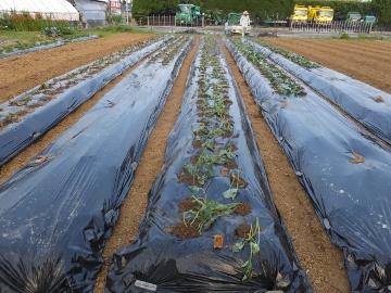芋畑苗植え第3弾3