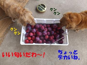 スモモ真っ赤な実がいっぱいに3