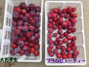 スモモ真っ赤な実がいっぱいに5