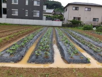 雷雨の後の芋畑