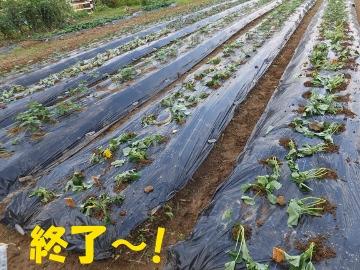 さつま芋植え終了3