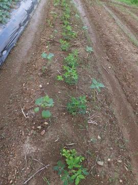 さつま芋植え終了4