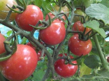 トマトにカナブン
