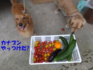 トマトにカナブン4