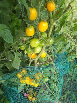 ミニトマト黄色も赤も