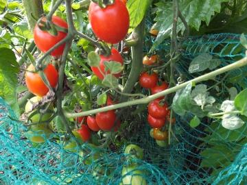 ミニトマト黄色も赤も2