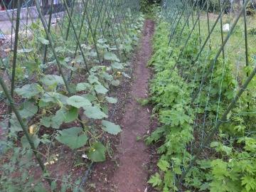 復活した野菜