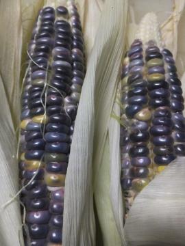 黒もちトウモロコシ収穫