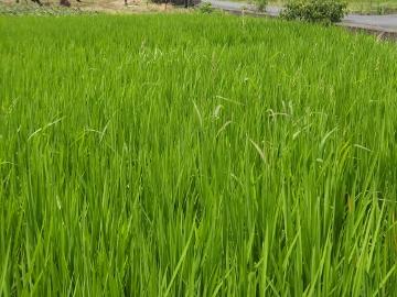 有機米もヒエ取り