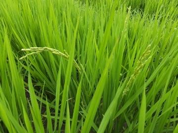 有機米もヒエ取り2
