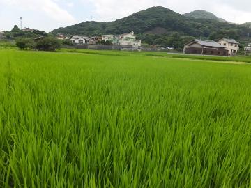 有機米もヒエ取り5