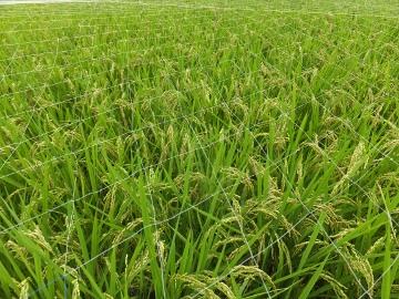 稲が熟れない