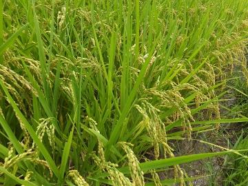 稲が熟れない2