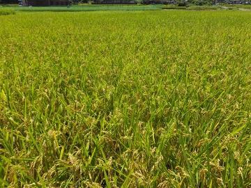 稲がまだ青くて4