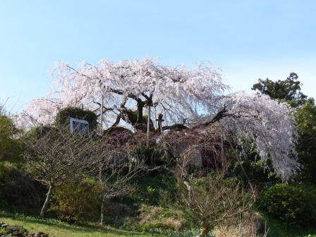 東のしだれ桜 2