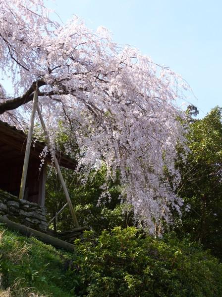 東のしだれ桜 3