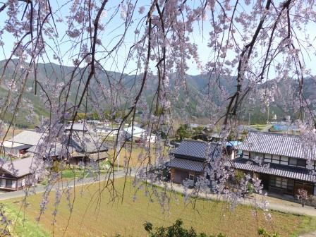 東のしだれ桜 5