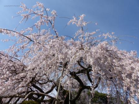 東のしだれ桜 4