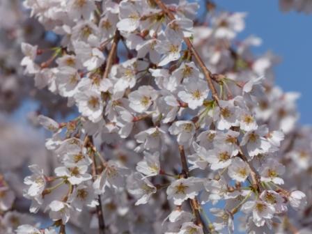 東のしだれ桜 6