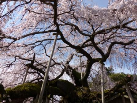 東のしだれ桜 7