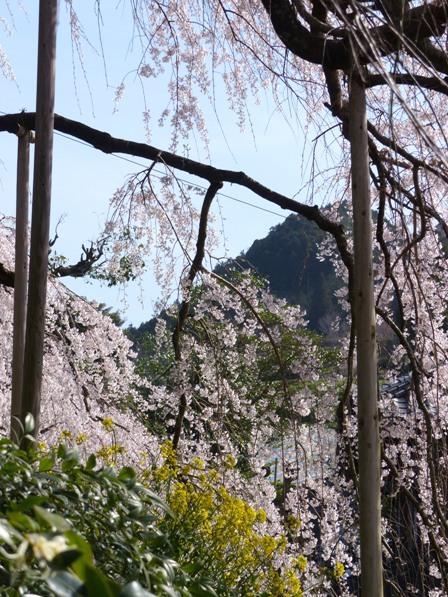 東のしだれ桜 9