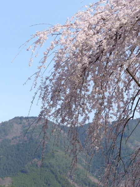 東のしだれ桜 8