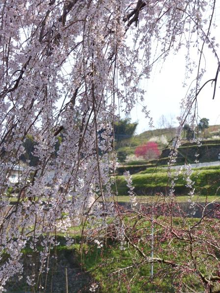 東のしだれ桜 10