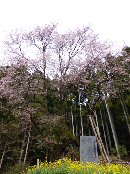 世善桜 1
