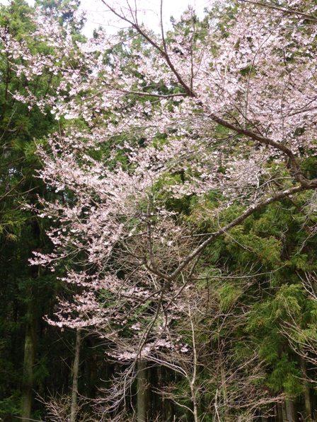 世善桜 2