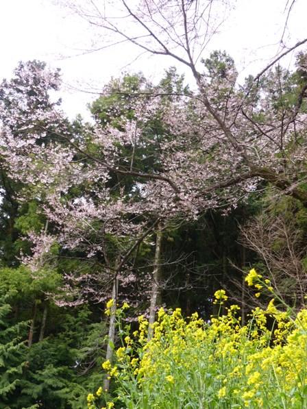 世善桜 3