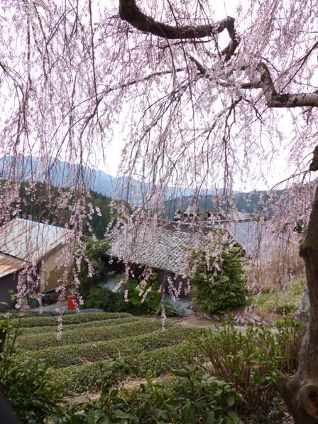 野村のしだれ桜 4