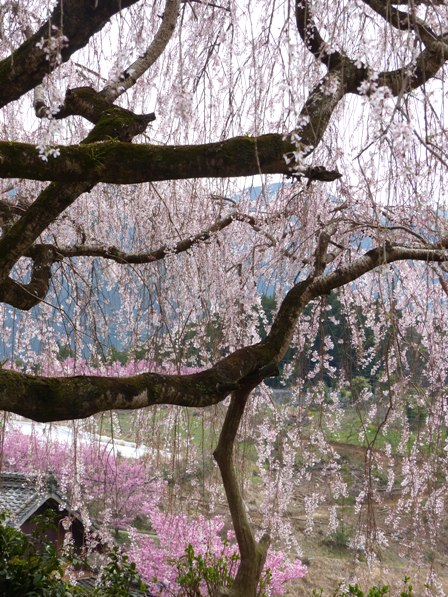 野村のしだれ桜 2