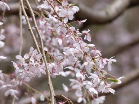 野村のしだれ桜 3