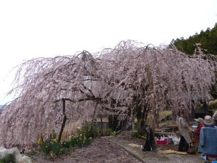野村のしだれ桜 5