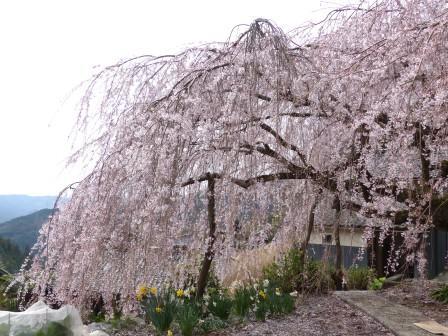 野村のしだれ桜 1