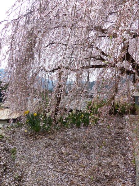 野村のしだれ桜 6