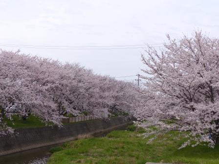 河野川の桜