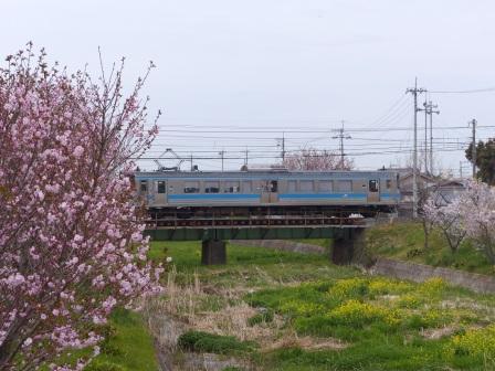 河野川沿いの桜 & JR四国7000系電車