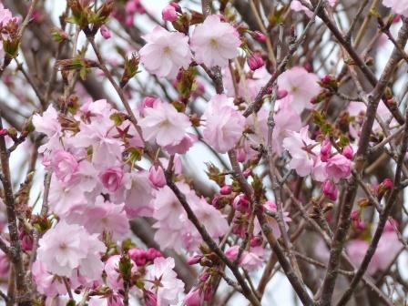 河野川沿いの八重桜