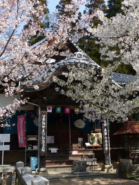 西法寺 薄墨桜 と 大島桜 2
