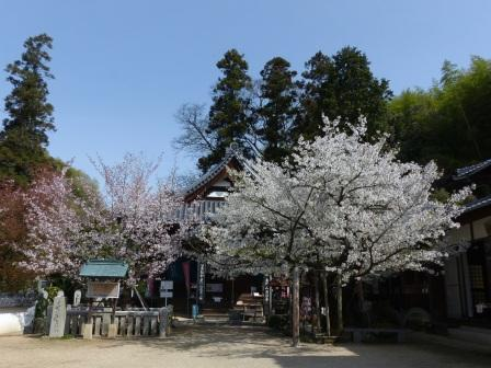 西法寺 薄墨桜 と 大島桜 1